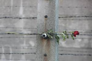 Rose on barbwire.