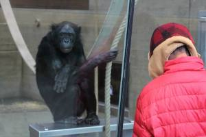 Checking out the chimps at the primate section of the Stuttgart zoo.