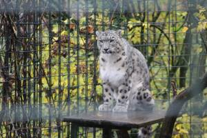 A beautiful and rare snow leopard at the Stuttgart zoo.